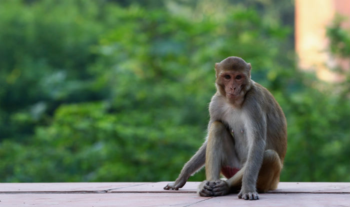 No Monkeying! 15 Railway Ministry Officials Under Quarantine And Lutyens' Monkeys Are to be Blamed